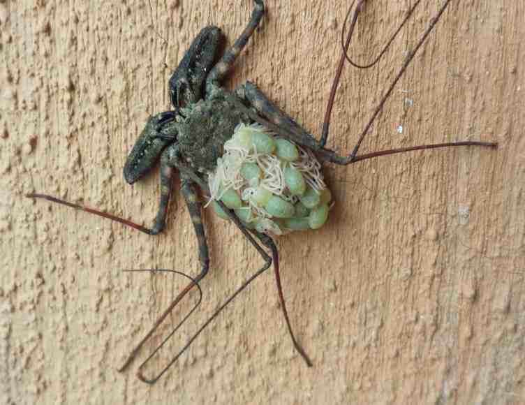 Tailless Whip Scorpion with young baby
