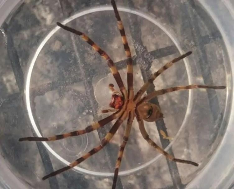 Zoropsis Spinimana size comparison
