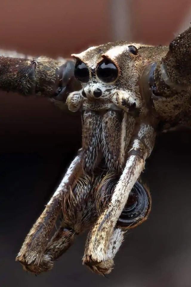 Ogre-faced Spider (Deinopis subrufa)