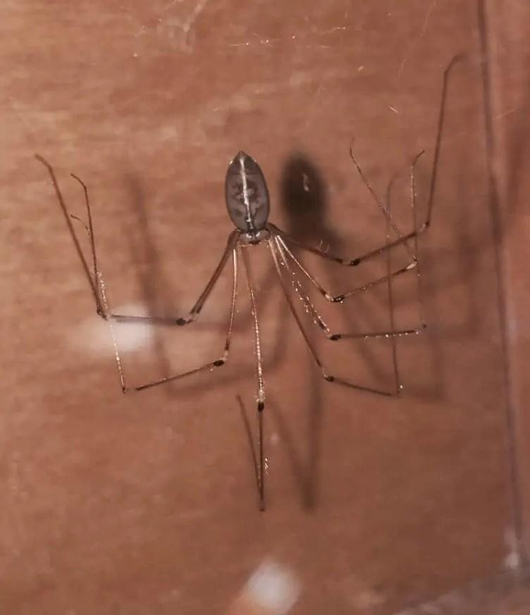 Daddy Longlegs – Pholcidae
