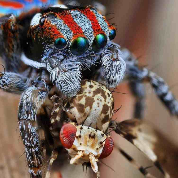 Peacock Jumping spider with prey
