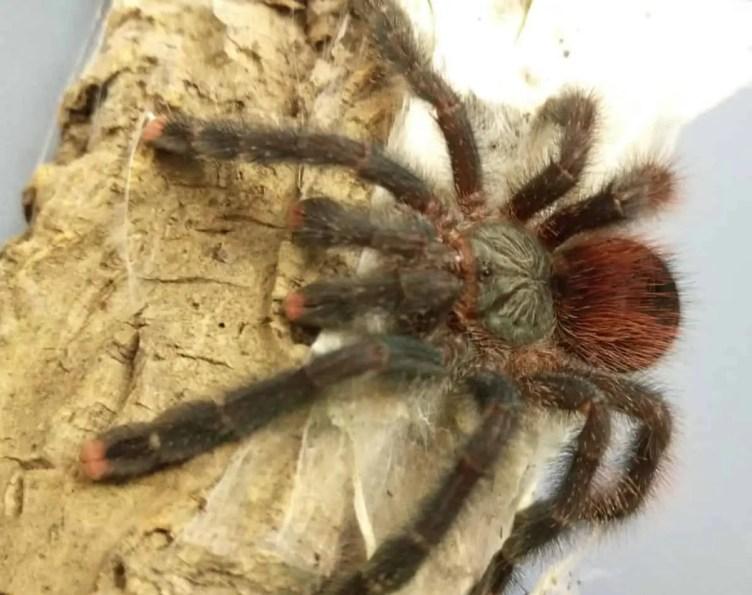Tarantula red brown black