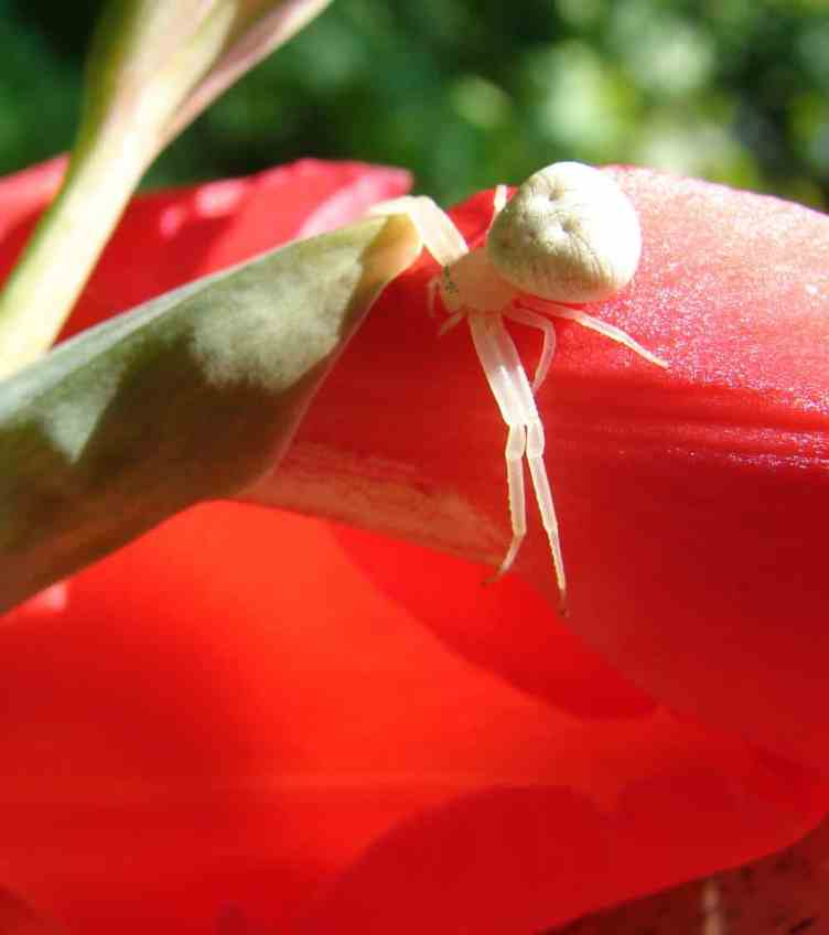 Crab Spider on Red Gladiolas 1 – 24 July