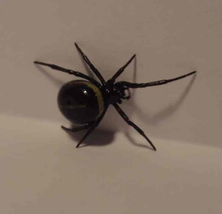 False Widow Crete