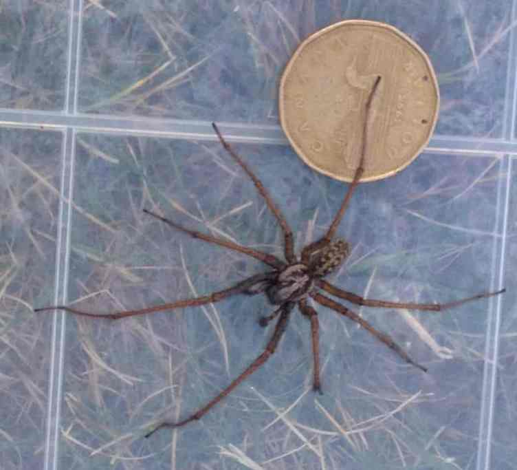 Giant House Spider size comparison with coin