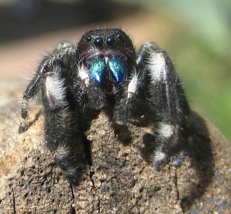 Daring Jumping Spider phidippus audax green fangs