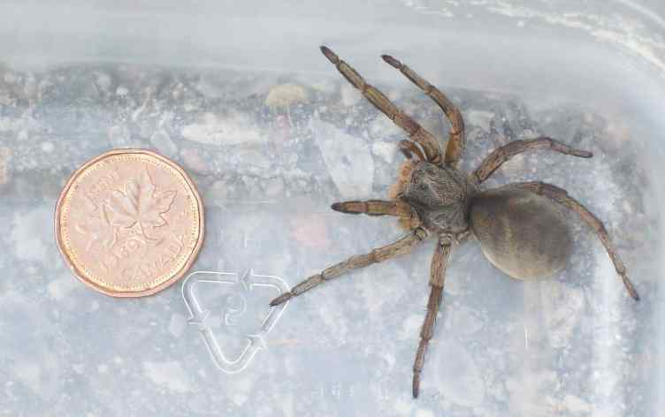 Burrowing Wolf Spider size comparison with coin