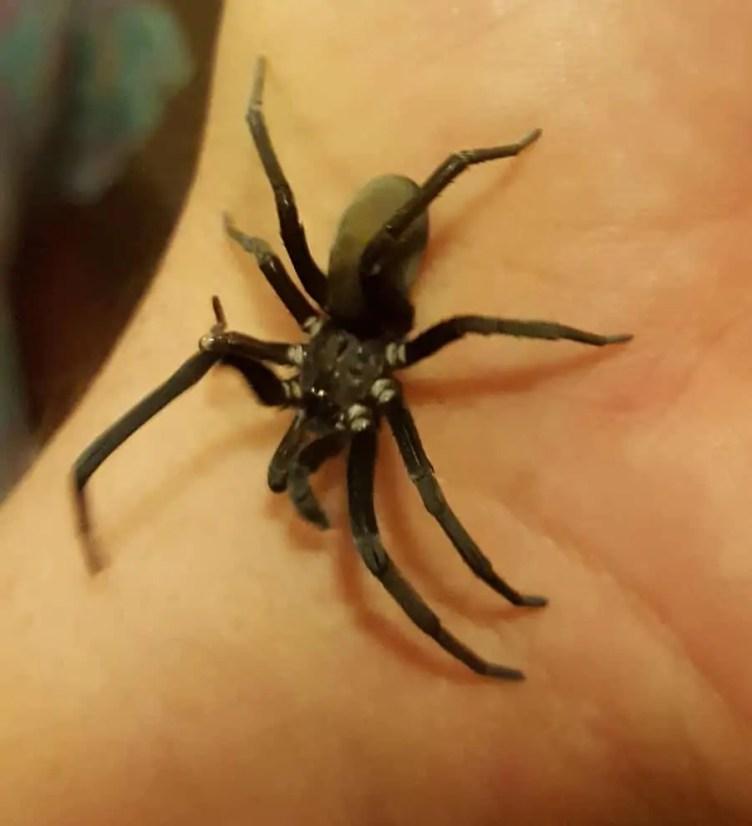 Southern House Spider Kukulcania hibernalis on hand