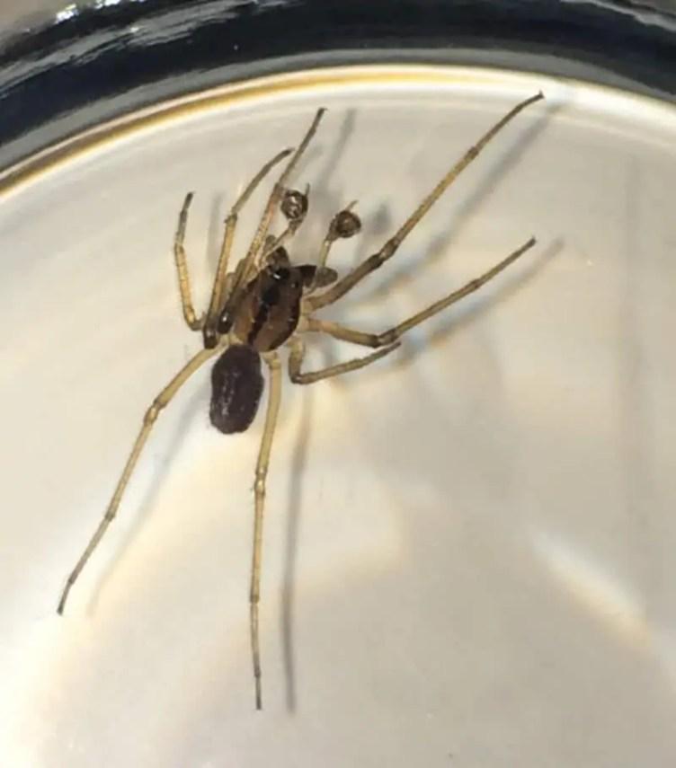 Male Running Crab Spider