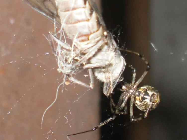 Common House Spider parasteatoda tepidariorum