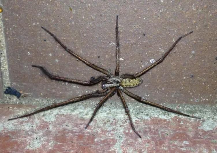 Giant House Spider eratigena atrica