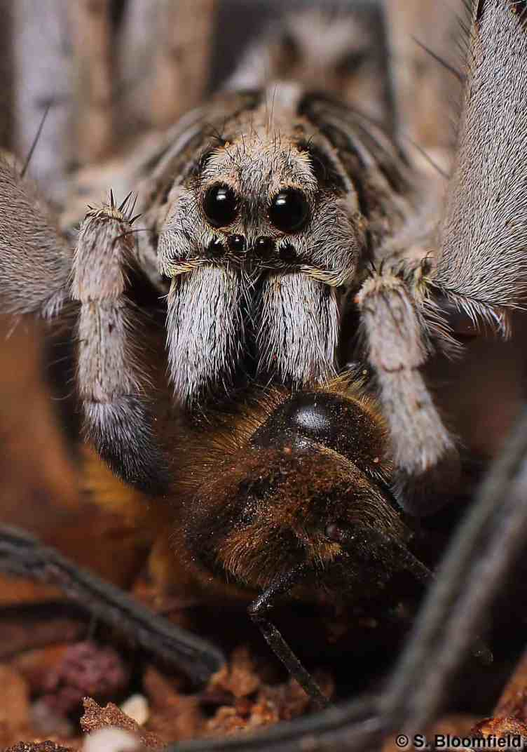 Wolf Spider with prey