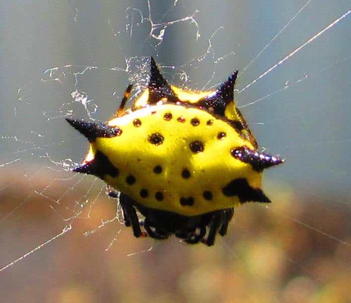 Jewelled Spider yellow and black