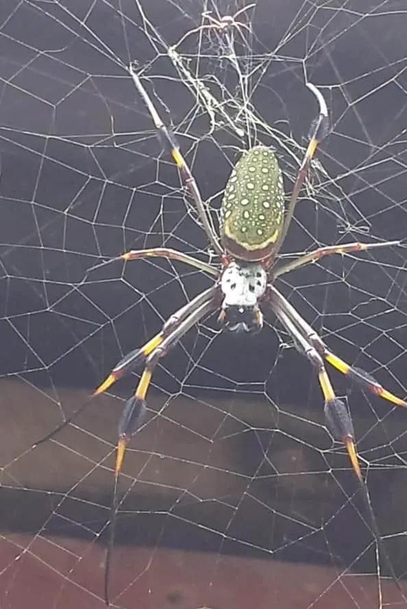 Nephila sp. Jamaica