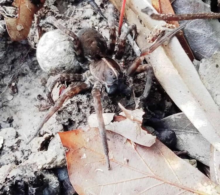 Burrowing Wolf Spiwing Wolf Spider