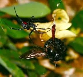 Black Widow female