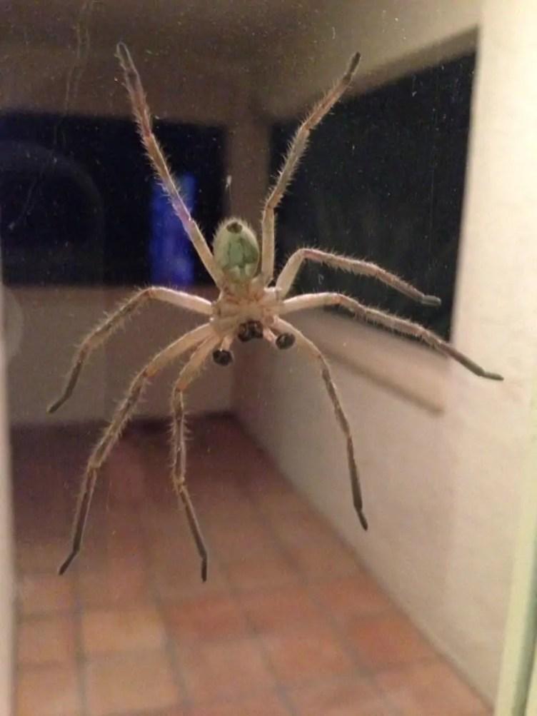 Badge Huntsman spider male