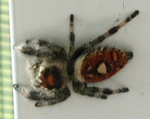 jumping spider brown red gray