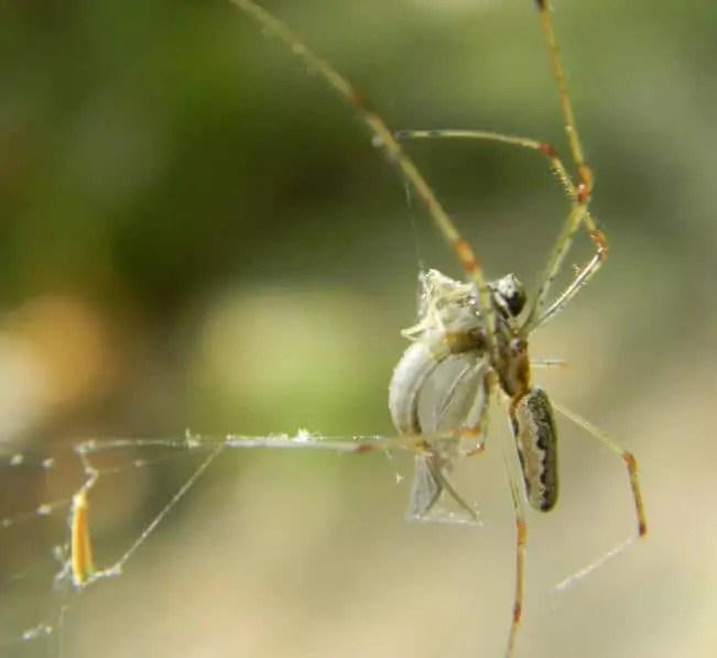 Long Jawed Orb Weaver in web