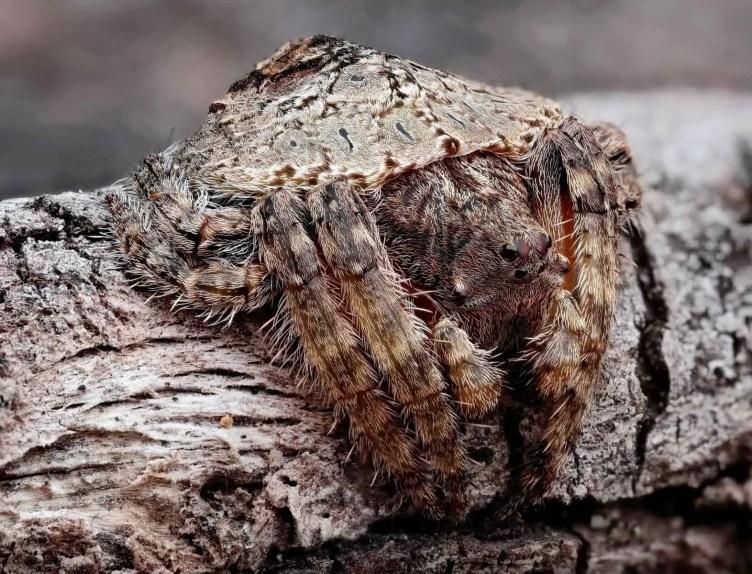 Wraparound Spider – Dolophones closeup
