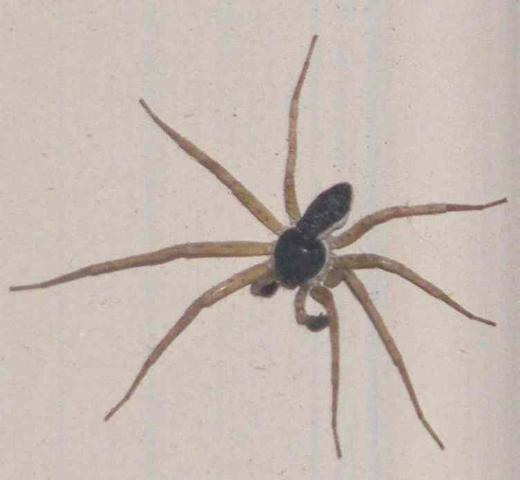 Male Running Crab Spider black body white long legs maevia inclemens