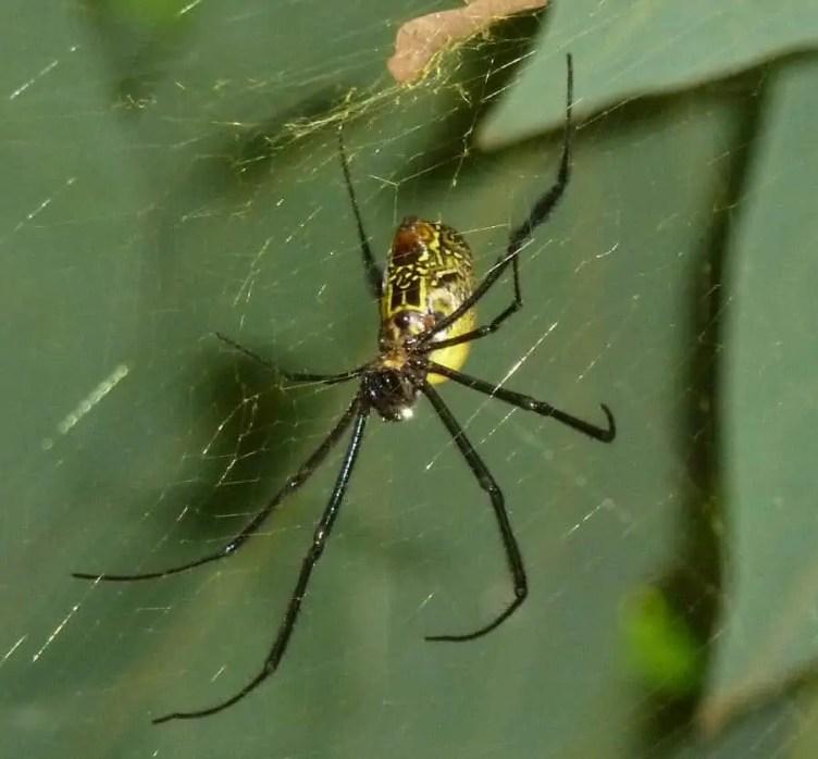 Nephila sp. Sierra Leone