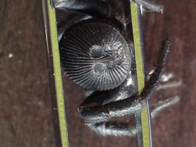 Ravine Trapdoor Spider 1