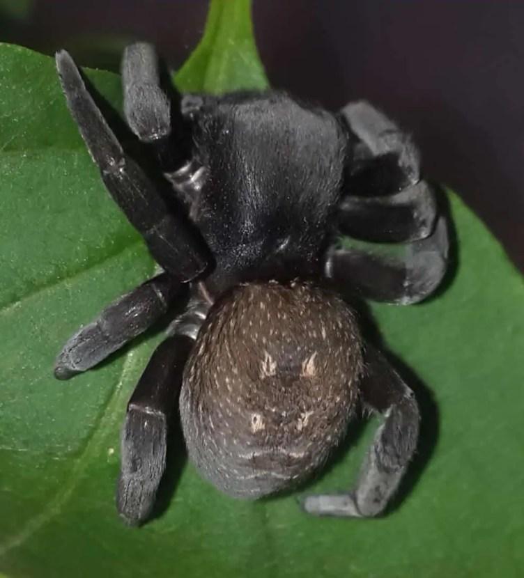 Female Ladybird Spider brown black