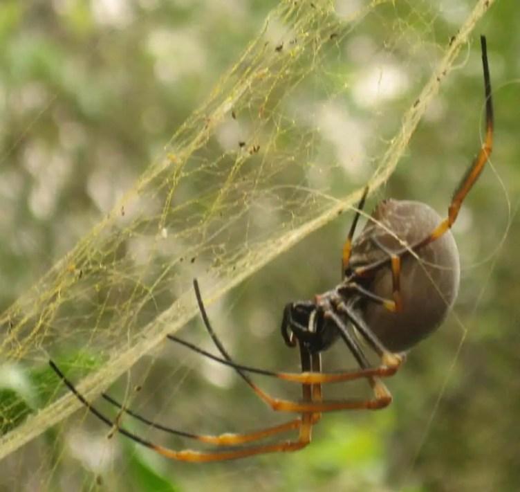 Golden Silk Orb Weaver with web