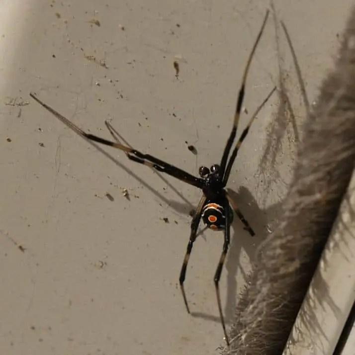 Male Black Widow