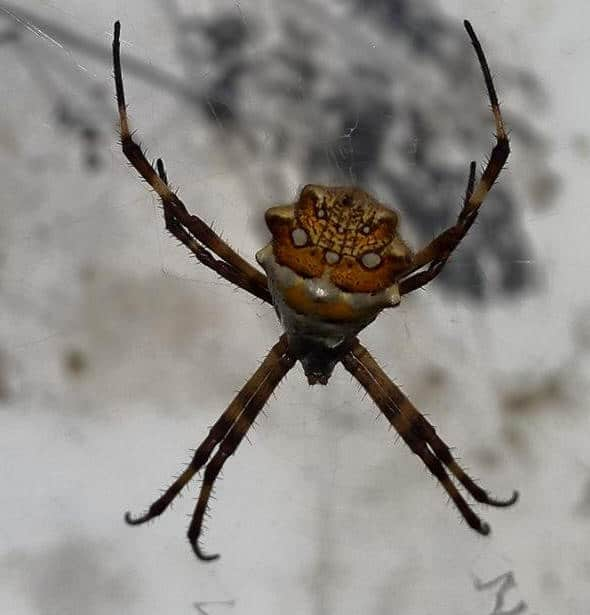 Other Argiope from Argentina