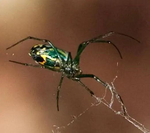 Venusta Orchard Spider green black orange