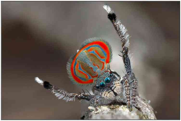 Male Peacock Jumping Spider colorful