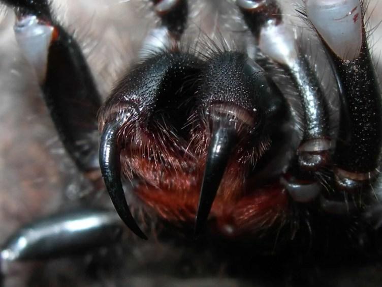 Funnel Web Spider fangs closeup
