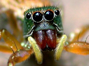 Jumping spider colorful eye closeup