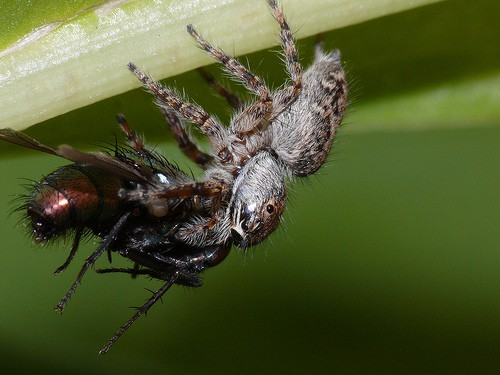 Jumping Spider with prey closeup