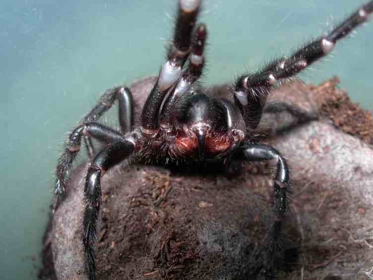 Funnel Web Spider fangs