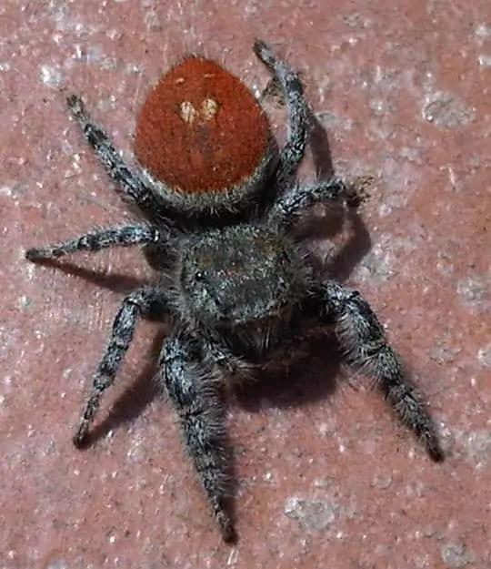 Phidippus johnsoni red abdomen black jumping spider