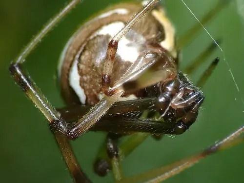 Lactrodectus sp.