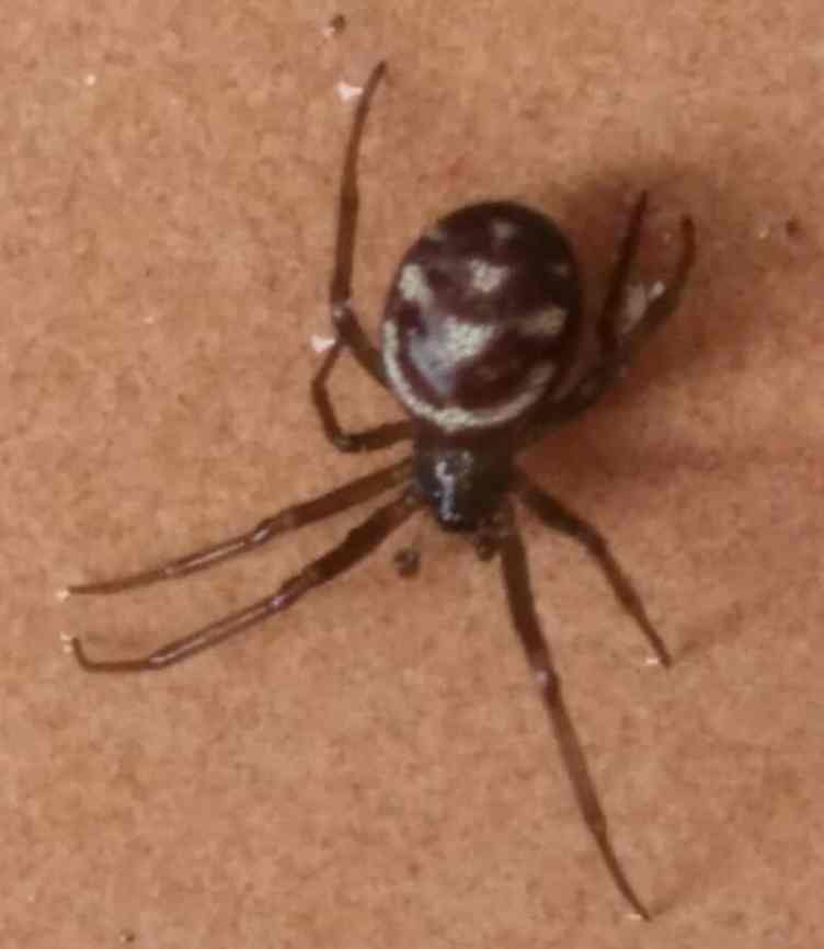 False Widow USA