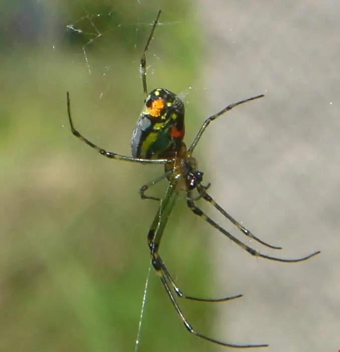 Venusta Orchard Spider orange green in web
