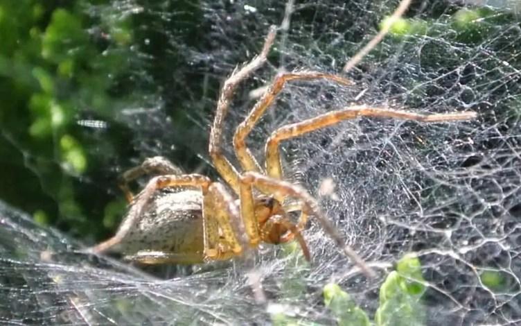 Grass Spider in web