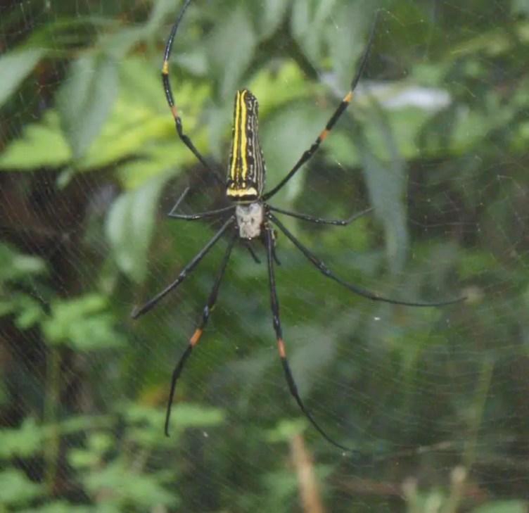 Nephila sp. Phillipines