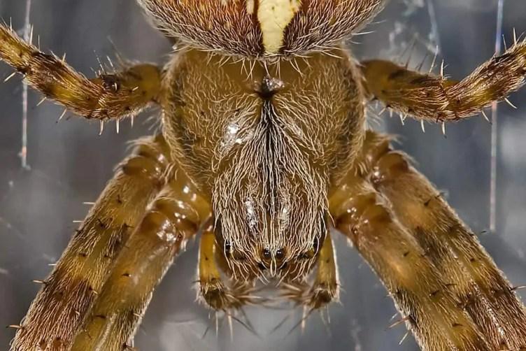 Araneus Diadematus cross orb weaver closeup head face eyes
