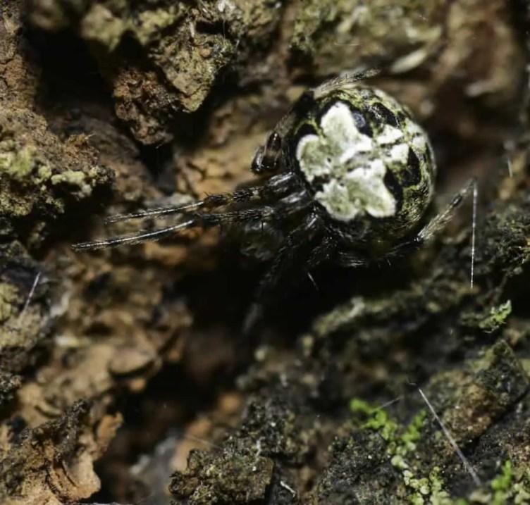 Giant Lichen Orb Weaver