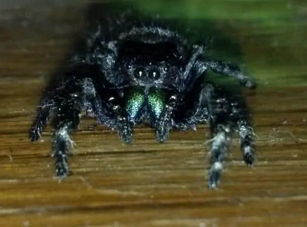 Daring Jumping Spider phidippus audax iredescent fangs