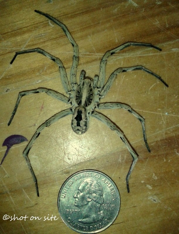 Carolina Wolf Spider with coin size comparison