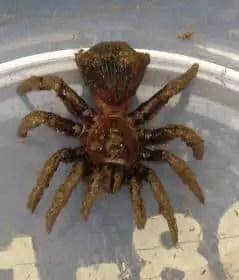 Ravine Trapdoor Spider behind closeup