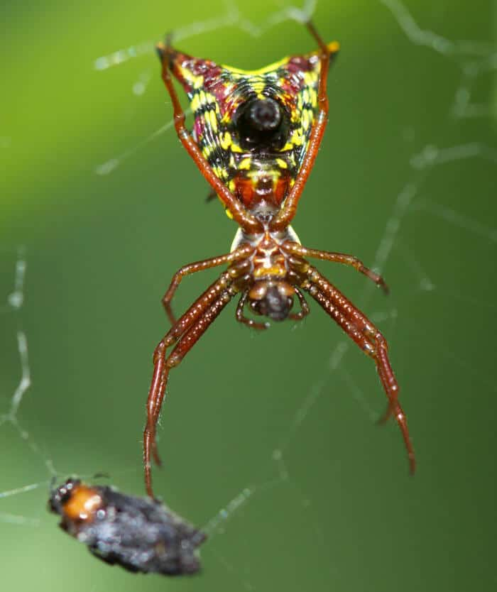 Arrow Shaped Micrathena in web,  Micrathena sagittata red yellow brown