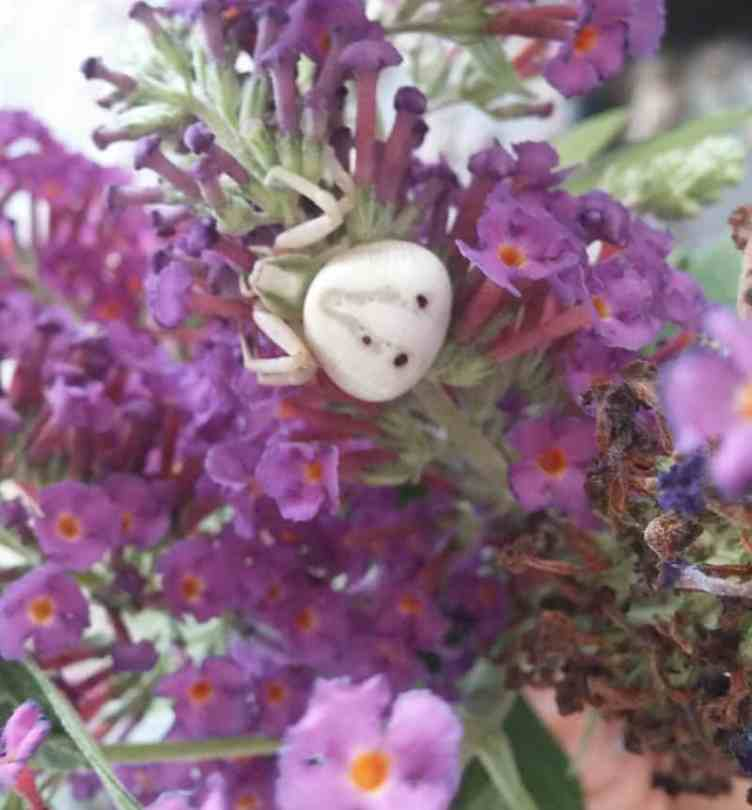 White Crab Spider 2